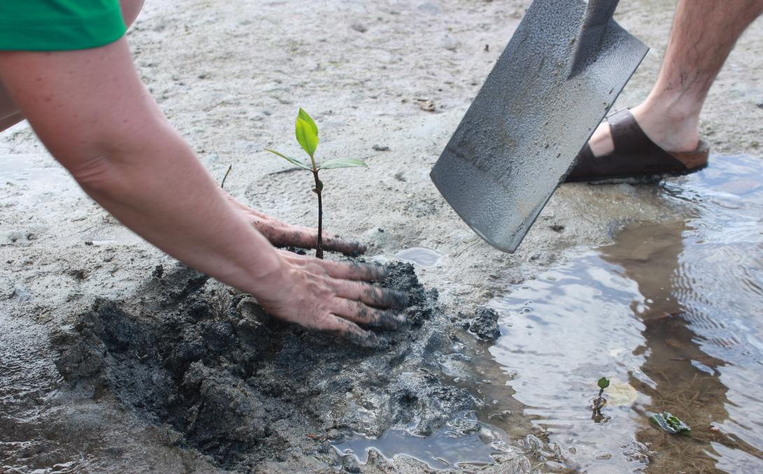 Conservation volunteer replants a mangrove propagule in Fiji